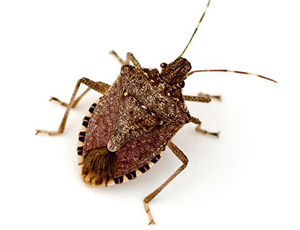 Stink Bugs and Box Elder Bugs